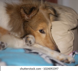 The portrait of a lovely Shetland Sheepdog at home on a sofa.