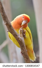 Portrait of a lutino peach face love bird (agapornis rosiecollis) perching in a tree