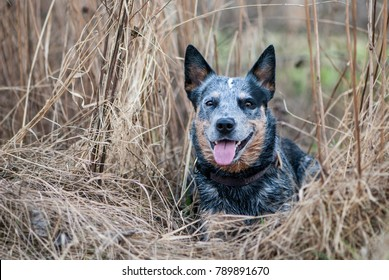 Portrait of lying Australian Cattle Dog among the hay.