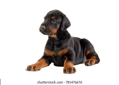 Portrait of lying doberman puppy isolated on white