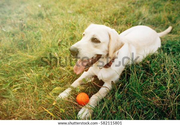 Portrait of lying golden dog labrador retriever on grass with his toy at sunset