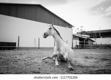 Portrait of a lying horse indoor in a riding hall