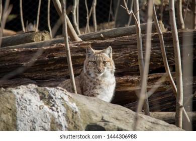 Portrait of lynx cub. Lynx Lynx.