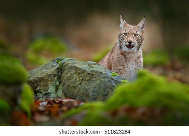 Portrait of Lynx hidden behind the green stone in forest. Beautiful animal in the nature habitat, Sweden.