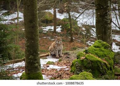 Portrait of lynx mother, Bavarian Forest National Park.
