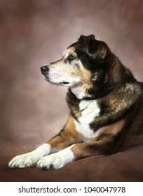 Portrait of a Magestic and dignified Senior German Shepherd mix breed dog, looking away from the camera as he sits on a hand painted muslin fine art  backdrop.