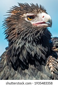 Portrait of a magnificent Wedge-tailed Eagle. The largest bird of prey in Australia.