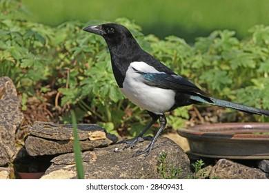Portrait of a Magpie