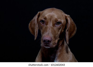 Portrait of a Magyar Vizsla also called Shorthaired Hungarian Pointer in studio in front of black background