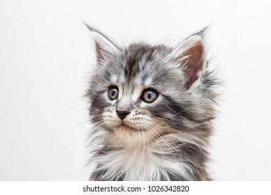 Portrait of maine coon kitten
