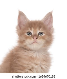 Portrait of Maine Coon kitten isolated over white background