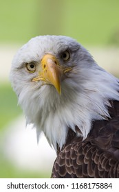 Portrait of a majestic  bald eagle