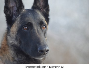 Portrait of a majestic Malinois (Belgian Shepherd) - face close up