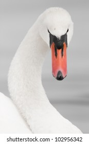 a portrait of a majestic mute swan; shallow depth of field, focus on the eyes