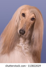 A portrait of a male afghan hound named Snickers