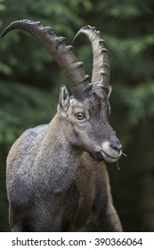 Portrait of a male alpine ibex, Capra ibex. This wild goat is also known as bouquetin