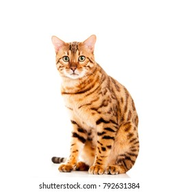 Portrait of male Bengal cat sitting down looking straight into camera cut out isolated on white background