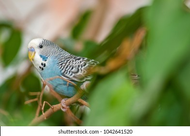 Portrait of a male blue Budgie sitting in a tree an observing the surroundings.