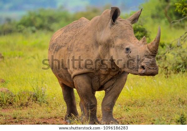 Portrait of a male bull white Rhino grazing in Kruger National park during our stay in Marloth park