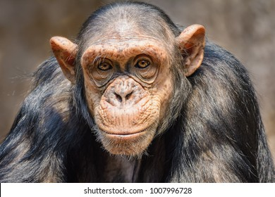 Portrait of a male chimpanzee