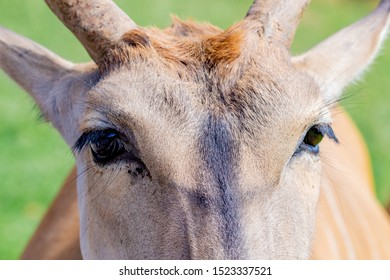 Portrait of a male eland antelope (Tragelaphus oryx) in natural habitat.