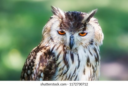 Portrait of Male Eurasian Eagle-Owl