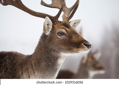 Portrait of a male of fallow deer in the snow