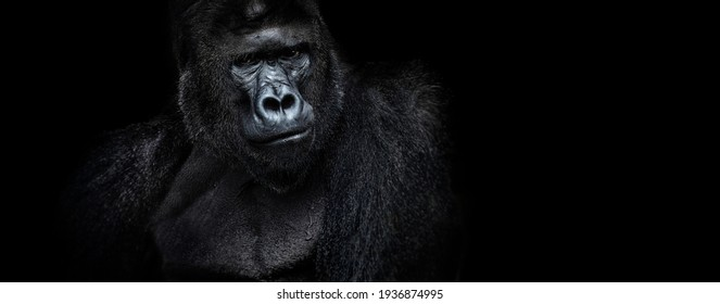 Portrait of a male gorilla on a black background, severe silverback, Grave look of the great ape, the most dangerous and biggest monkey of the world. The chief of a gorilla family. APE.