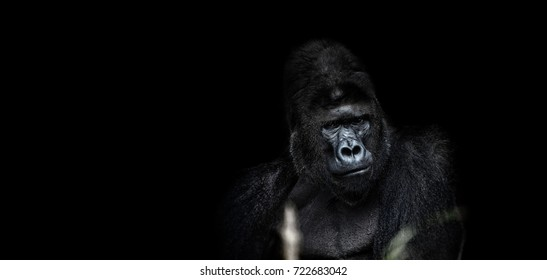 063dcf2cb7 Portrait of a male gorilla on black background, severe silverback, Grave  look of the