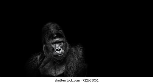 Portrait of a male gorilla on black background, severe silverback, Grave look of the great ape, the most dangerous and biggest monkey of the world. The chief of a gorilla family. APE