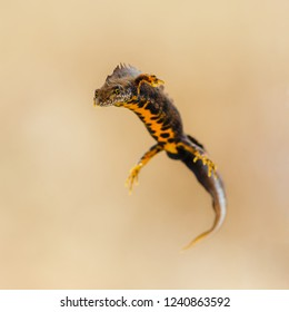 Portrait of a male great crested newt (Triturus cristatus)