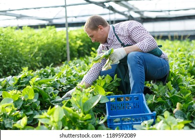 Portrait of male  horticulturist picking  Malabar spinach in  greenhouse