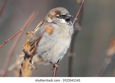 Portrait of male House sparrow (passer domesticus) perched on branch in germany mecklenburg vorpommern