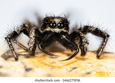Portrait of male Jumping Spider or Zebra Back Spider made in Macro Focus Stacking.