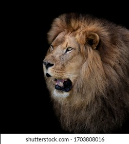 Portrait of a male lion with black background