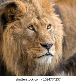 A portrait of a male lion (Panthera leo) in captivity
