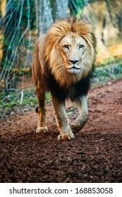 lion walking images stock photos vectors shutterstock