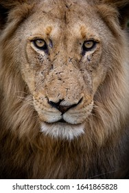 A portrait of a male lion in the wild, revealing scars on his face while he makes direct eye contact with the camera.