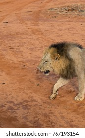 Portrait of a male lion in the wilderness