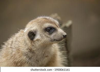 Portrait of a male Meerkat whit profile. (Suricata suricatta) Single Meerkat.