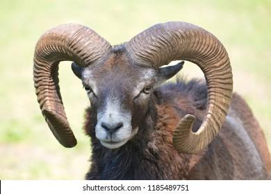 Portrait male mouflon of Corsican (Ovis aries orientalis)