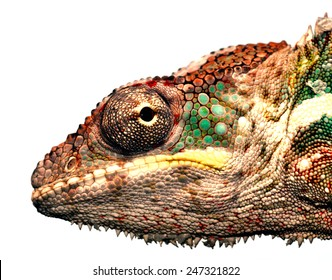 portrait of a male panther chameleon (furcifer pardalis) from africa
