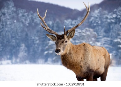 Portrait of a male of red deer in the snowy forest