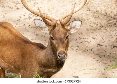 Portrait of male red deer in zoo.