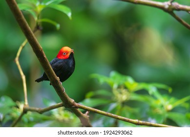 Portrait of Male Red-capped Manakin (Ceratopipra mentalis) perched on branch