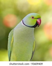 Indian Ringneck Parrot Images Stock Photos Vectors Shutterstock