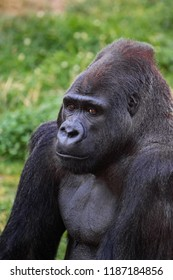 A portrait of a male, Silverback gorilla in a natural environment.