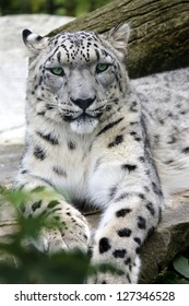 Portrait of a male snow leopard