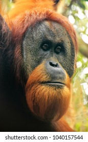 Portrait of male Sumatran orangutan (Pongo abelii) in Gunung Leuser National Park, Sumatra, Indonesia. Sumatran orangutan is endemic to the north of Sumatra and is critically endangered.
