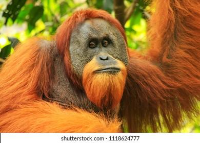 Portrait of male Sumatran orangutan (Pongo abelii) in Gunung Leuser National Park, Sumatra, Indonesia. Sumatran orangutan is endemic to the north of Sumatra and is critically endangered.